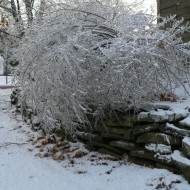 the ice bush