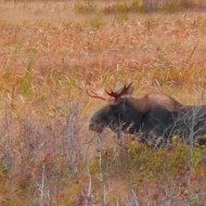 Tupper Lake Moose from afar